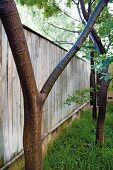 Young trees against tall wooden fence in garden