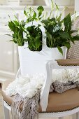 Spathiphyllum 'Chopin' (peace lily) in bag on period armchair