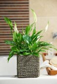 Potted Spathiphyllum 'Chopin' (peace lily) on edge of bathtub
