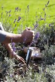 Planting bulbs amongst lavender