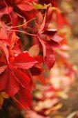 Rot verfärbte Blätter