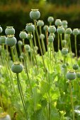 Field of poppy seed heads
