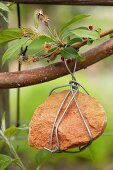 Stone wrapped in wire hung from branch of fruit tree