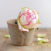 Rosenblüte im Blumentopf auf Holztisch