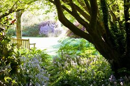 Spacious garden with blue-flowering harebells (Campanula rotundifolia) and wooden bench below sycamore trees