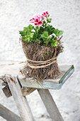 Blühende rot-weiße Duftpelargonie im Töpfchen mit getrocknetem Moos und Bast umwickelt auf einer rustikalen Holzbank
