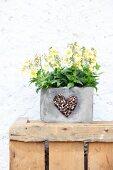 Gelb blühendes Hornveilchen in grauem Pflanzgefäß mit Herzmotiv aus Kaffeebohnen verziert,