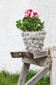 Blühende rot-weiße Duftpelargonie im Blumentopf mit Kieselsteinen verziert