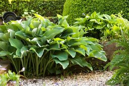 Bed of hostas in mature garden between gravel path and hedge