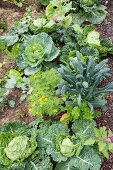Top view of savoy cabbages in vegetable patch