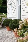 Potted box bushes and hydrangeas on gravel area in front of white weatherboard house facade