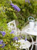 Blue-flowering plant in garden with white garden furniture in background