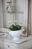 White-flowering geranium planted in soup tureen in front of old window on top of cabinet