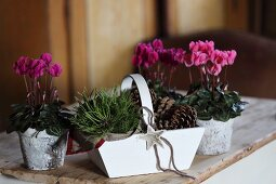 Pink cyclamen in decorated birch bark pots and white wooden trug of pine cones on wooden surface