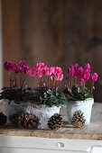 Row of pink cyclamen in decorated birch bark pots and pine cones on wooden surface