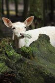 White deer sniffing crocheted toadstool on rock