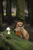 Deer looking at crocheted toadstool on boulder