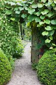 Topiary box balls and climber on wall in front of open, wrought iron gate in English garden