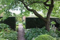 Gravel path between clipped hedges behind foliage beds and gnarled tree in English garden