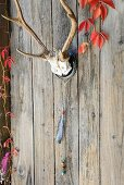 Antlers with Native American feather decorations on wall of wooden cabin with autumnal Virginia creeper foliage