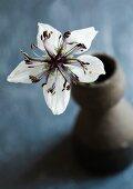 White, star-shaped Nigella (variety: 'Musical prelude') in grey ceramic vase