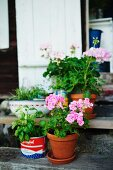 Geraniums in terracotta pot and basil in tin can on rustic wooden front steps