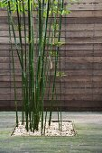 Wooden terrace with bamboo growing in square beds in front of wooden board fence