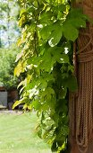 Climbing plant and bundled rope on wooden post in sunshine