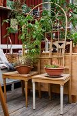Bowls of plants on old kitchen chairs and climbing plant on trellis on wooden deck