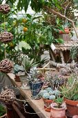Various succulents in terracotta pots on wooden surface