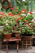 Potted geraniums of various colours on stools in greenhouse