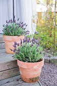 Potted lavender on wooden outdoor steps