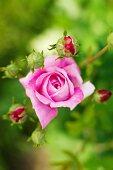 Pink rose and rosebuds