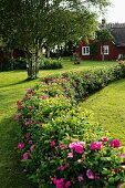 Curved hedge of low rose bushes in rustic Swedish garden