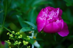 Pink peony and lady's mantle