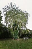 Old willow tree and seating group on freshly mown lawn