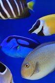 Colourful marine fish in aquarium
