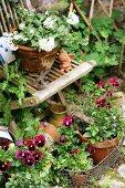 Violas and summer jasmine in terracotta pots
