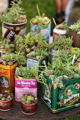 Succulents planted in old tin cans on rusty garden table