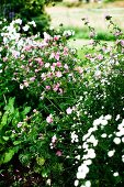 White and pink flowers in garden