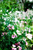 Pink flowering plant (annual mallow)