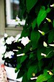 White-flowering climbing plant