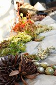 Various succulents planted in joints of stone floor
