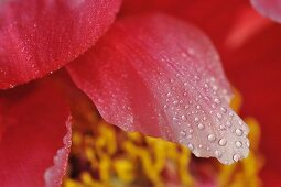 Macro photography of pink petals with dew drops