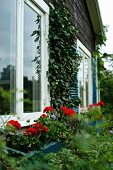 Window boxes of red geraniums outside windows of summer house