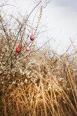 Three blown eggs dyed crimson hanging on white-flowering thorn bush