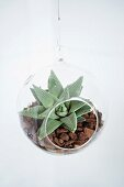 Plexiglas globe planter with succulents on bed of mulch