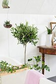 Potted fig and small olive tree next to antique console table, ivy on bath rack and suspended glass globe planters in bathroom