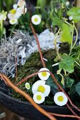 Spring arrangement with bellis, moss, ivy and willow