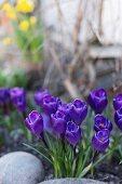 Blue crocuses behind pebbles in garden